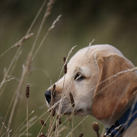 by Jill Wilson - Animals - Dogs Puppies ( labrador puppy, puppy in the grass, puppy, dog, labrador, puppy portrait )