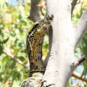 Lace Monitor or Goanna