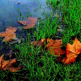 Leaveves in the Grass by Brian Blood - Nature Up Close Leaves & Grasses ( park, grass, autumn, leaves, rain,  )