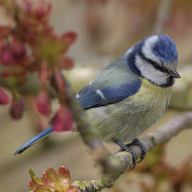 Blue tit by Stuart Watson - Animals Birds ( tree, blue, tit, garden,  )