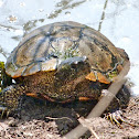Red-eared slider (older male)