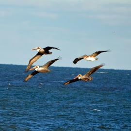 In Formation by Bill Telkamp - Novices Only Wildlife ( wildlife, seascape, birds )