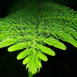 Leafy Array....Araucaria by Vinod Kumar - Nature Up Close Leaves & Grasses