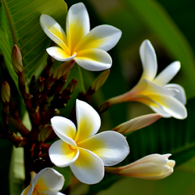 White Frangipani 10 by Mark Zouroudis - Nature Up Close Flowers - 2011-2013 ( tree, white, frangipani, flower, scented,  )