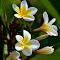 White Frangipani 10.jpg