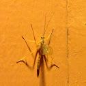 Rhopalosomatidae?