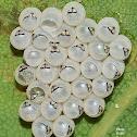 Stink Bug Eggs