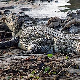 crocs... by Raj KC - Animals Reptiles ( reptiles, animals, jungle, crocodile, nature up close, prey, forest, leather )