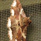 Lunate Zale moth