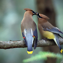 Waxwing Romance by Jaki Miller - Animals Birds ( nature, two waxwings, feeding, cedar waxwing, waxwings, birds, beak to beak )
