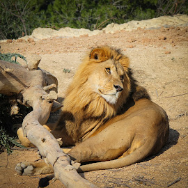 handsome male lion resting by Judith Dueck - Animals Other Mammals ( face, cat, african, tropical, wildlife, cute, pride, looking, beast, danger, nature, zoo, family, safari, fur, africa, feline, hair, regal, animal, eye, wild, lion, grass, alert, leo, awake, young, dangerous, mammal, resting, thinking, outdoors, endangered, big, handsome, large,  )