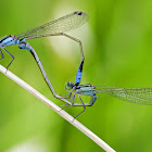 Two Mating Damselflies