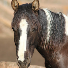 Young paint stud by James  Adkins - Animals Horses ( colt, horse, young paint horse, stud, paint,  )