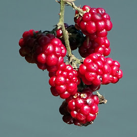Blackberries by Tihomir Beller - Nature Up Close Trees & Bushes ( fruit, blackberies, nature, bush, leaves )