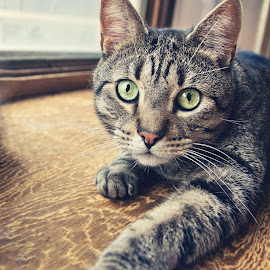 Dreamy Cat by Whitney Lampher - Animals - Cats Playing ( playing, cat, tabby cat, pet, green eyes )