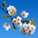 Cherry blossom Live icon
