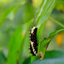 Common Mime ( Caterpillar )