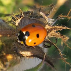 Seven-Spotted Ladybugs