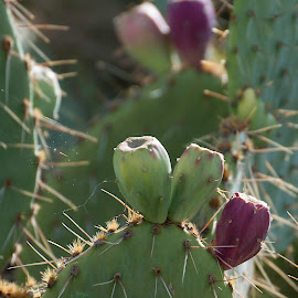 by Laura Johnston - Nature Up Close Other plants ( arizona, prickly pear, cactus,  )