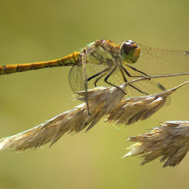 Female Common Darter by Chrissie Barrow - Animals Insects & Spiders ( resting, grass, common, female, wings, darter, dragonfly, bokeh,  )