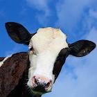 Crazy Cow Simulator 1.0