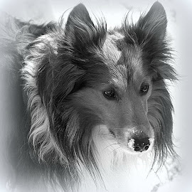 KC  IN THE SNOW. by Valerie Stein - Animals - Dogs Portraits ( black and white, animal,  )