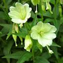 yellow willowherb