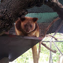 Goodfellows tree kangaroo