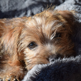 Archie by Aliy Fowler - Animals - Dogs Puppies ( cute puppy, terrier, puppy, norfolk terrier, dog,  )
