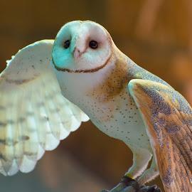 Barn Owl (Tyto alba) by Meghan McCarthy - Animals Birds ( bird, wings, barn owl, owl, brown,  )