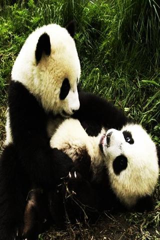 可愛的熊貓