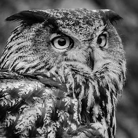 Eurasian Eagle Owl by Ron Meyers - Black & White Animals