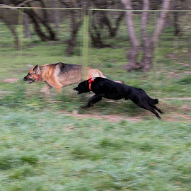 Runing by Carla Coanda - Animals - Dogs Running ( dogs, outdoors, dogs playing, brown, regatta, running, black,  )