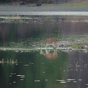 Tadoba by Kumar Eshan - Animals Other Mammals ( tadoba lake, tiger reserve, spotted deer, lake, tadoba, deer )
