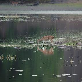 Tadoba by Kumar Eshan - Animals Other Mammals ( tadoba lake, tiger reserve, spotted deer, lake, tadoba, deer )