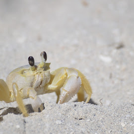 Crab by Richard St-Hilaire - Animals Sea Creatures ( sand, pinces, sea animals, crab, sable )