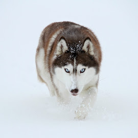 Hulduheims Saga by Agnes Jónsdóttir - Animals - Dogs Running ( red, siberian husky, snow, blue eyes )