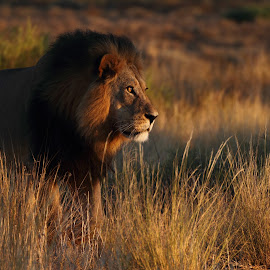 Sunrise lion by Adéle van Schalkwyk - Animals Lions, Tigers & Big Cats ( wildlife. free, lion, hunter, predator, cat )
