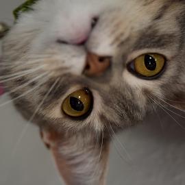 Upside Down Gypsie by Lin Fauke - Animals - Cats Portraits ( pose, kitten, cat, rescue, ears, eyes )