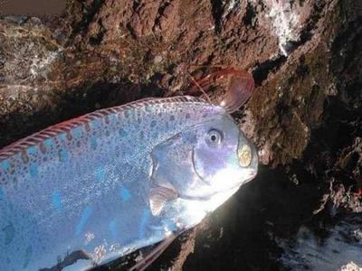Longest Fish on Planet