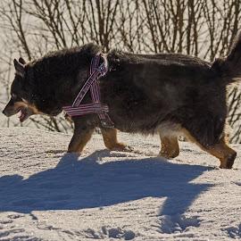 Reindeer dog by Marjatta Koiksniemi - Animals - Dogs Running ( reindeer dog, lapland )