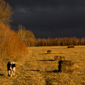 Golden hour light luck by Steve Outing - Landscapes Prairies, Meadows & Fields ( field, hay bales, vibrant color, colorado, boulder, landscape, dog, light, brittany spaniel, golden hour )