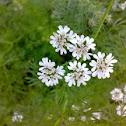 Coriander Flowers ( धनिया के फूल )
