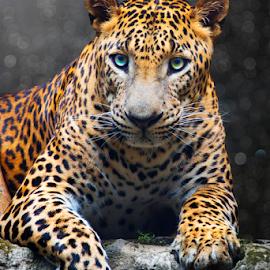 by Irwan Budiman - Animals Lions, Tigers & Big Cats