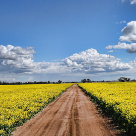Canola Gold by Carole Pallier Cazzazsnapz - Landscapes Prairies, Meadows & Fields ( field, pasture, canola, food, yellow, crop )