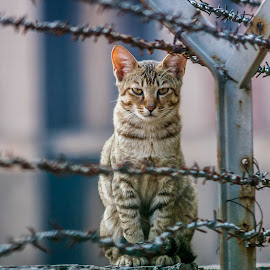 Guarding the fence by Himanshu Sharma - Animals - Cats Portraits ( cats, wild, fence, animals, strong, still, india, eyes )