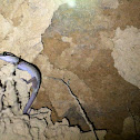 Oldham's Bent-toed Gecko