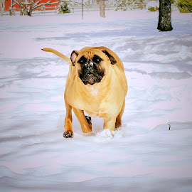 Run Dayna Run by Sue Delia - Animals - Dogs Running ( bullmastiff, winter, snow, dog, run,  )
