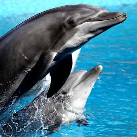 Dolphin Motherhood by Rudi Botha - Animals Other Mammals ( nature, sea creature, dolphins, wildlife, ocean,  )