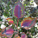 Japanese Knotweed (Fall foliage)